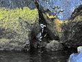 Fiordland Penguin.jpg