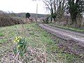 First 'wild' daffodils of 2007 - geograph.org.uk - 314695.jpg