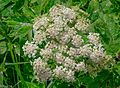 First day of the summer in the Alpine flowers of Sun Peaks...young Cow Parsnip (Heracleum lanatum)... (28262160116).jpg