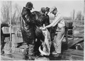 Fish are poured into a gunny sack for transporting - NARA - 285739.tif