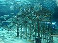 Fish in the Dangerous Reef of Ripley's Aquarium Myrtle Beach.JPG
