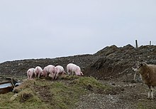 Five pigs on a farm in Wales