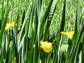 Flag irises at Morralee Tarn - geograph.org.uk - 850594.jpg