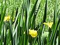 Flag irises at Morralee Tarn - geograph.org.uk - 850594.jpg