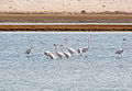 Flamingos in Salt pond Feb 2012.0003.jpg