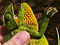 Flap-neck Chameleon (Chamaeleo dilepis) (18159899092).jpg