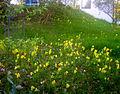 Flickr - Per Ola Wiberg ~ mostly away - Gullvivor i trädgården.jpg