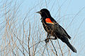 Flickr - ggallice - Red-winged blackbird (1).jpg
