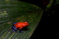 Flickr - ggallice - Strawberry poison frog.jpg