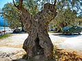 Flickr - ronsaunders47 - Not the most beautiful of trees. The Olive tree..jpg