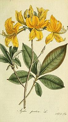 Gelbe azalee wikipedia for Gelbe tafel