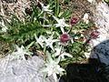 Flore alpine.jpg