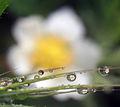 Flower refraction.jpg