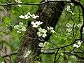 Flowering Dogwood (48343588736).jpg
