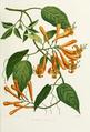 Flowers-bignonia-venusta.png