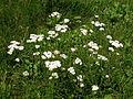 Flowers11Kokosovce6.JPG
