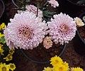 Flowers - Uncategorised Garden plants 54.JPG