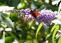 Flowers and butterflies in gardens of Charlecote Park, Warwick (3821608500).jpg