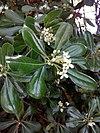 Flowers of pittosporum tobira 001.jpg