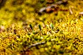 Forest Floor Moss (26755043732).jpg