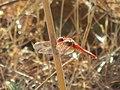 Formosa dragonfly.jpg
