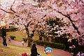 Foto Hanami parco del Lago dell'EUR.jpg