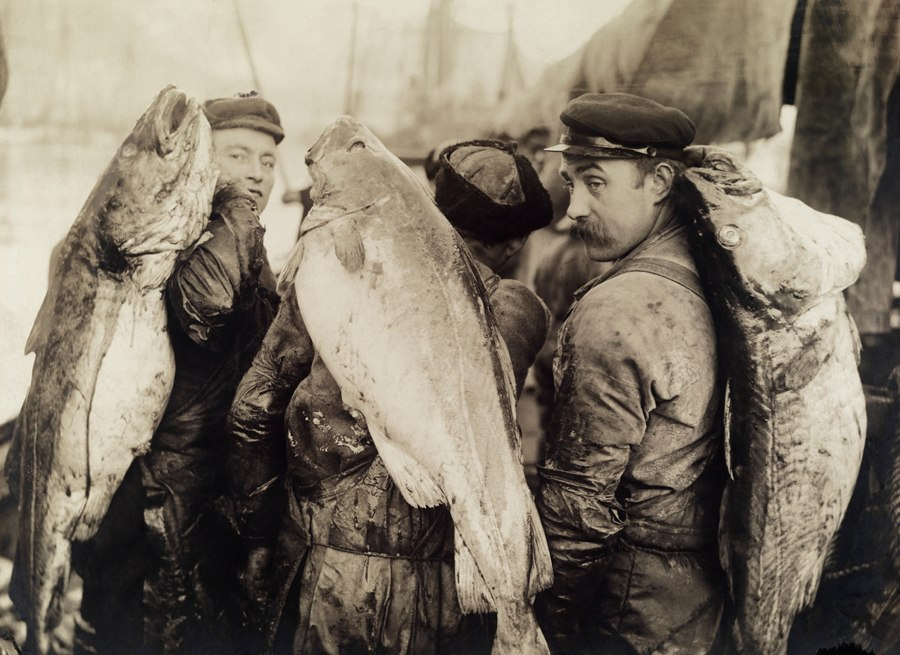 Four-foot long cod are slung across the backs of cod fishermen
