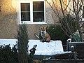Fox in the snow - panoramio.jpg