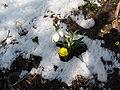 Frühlingsknotenblume und Winterling.JPG