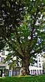 France, Paris, un vieil arbre au Square René Viviani près de léglise Saint-Julien-le-Pauvre.jpg