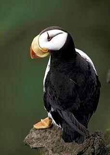 Horned puffin Species of bird
