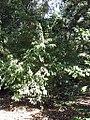 Fraxinus sieboldiana 0zz.jpg