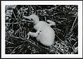 Fregata minor (Great Frigatebird) 22 days old, on Christmas Island (Kiritimati), Kiribati, 1967. (9392658315).jpg