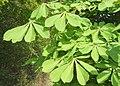 Fresh green horse chestnut leaves - geograph.org.uk - 789803.jpg