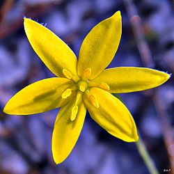Fringed Yellow Stargrass (Hypoxis juncea) (6148269752).jpg
