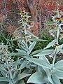 Fritillaria sewerzowii 1.jpg