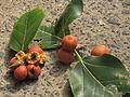 Fruits of banyan tree.JPG