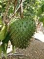 Fruto de Annona muricata.jpg