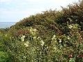 Fuchsia and meadowsweet near the sea - geograph.org.uk - 910140.jpg