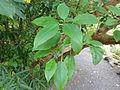 Fuchsia excorticata CHCH 2.JPG