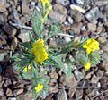 Fujeirah north 1501200713073 Arnebia hispidissima.jpg