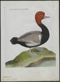 Fuligula rufina - 1790-1796 - Print - Iconographia Zoologica - Special Collections University of Amsterdam - UBA01 IZ17700001.tif