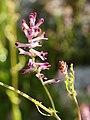 Fumaria officinalis (flower spike).jpg