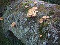 Fungi of Bory Tucholskie National Park.jpg