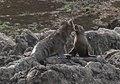 Fur Seals 4 (31131833680).jpg