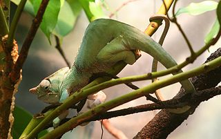 Two-banded chameleon Species of lizard