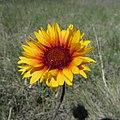 Gaillardia aristata - Blanket Flower (12774998653).jpg