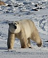 Gaiter the polar bear (6377339527).jpg