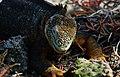 Galápagos land iguana (4202546364).jpg