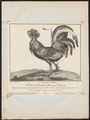 Gallus ferrugineus - 1767 - Print - Iconographia Zoologica - Special Collections University of Amsterdam - UBA01 IZ17000284.tif